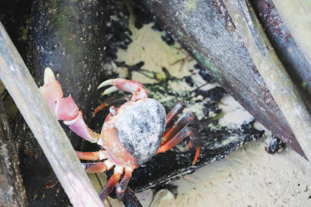 photo-crabe-sable-seychelles-lebarboteur
